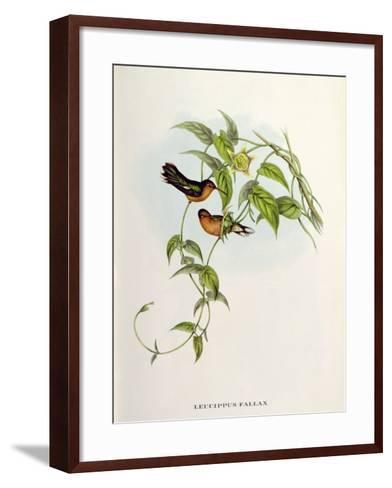 Leucippus Fallax-John Gould-Framed Art Print