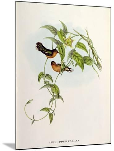 Leucippus Fallax-John Gould-Mounted Giclee Print