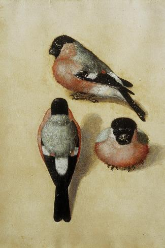 Parrot in Three Positions-Albrecht D?rer-Stretched Canvas Print