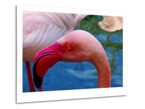 Headsup of Flamingo Bird-Rich LaPenna-Metal Print