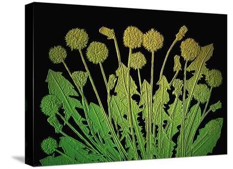 Natures Old Gold-Emiko Aumann-Stretched Canvas Print