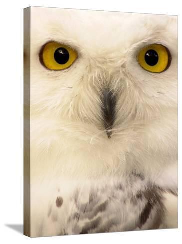 Close-Up of a Snowy Owl-Abdul Kadir Audah-Stretched Canvas Print