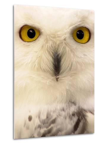 Close-Up of a Snowy Owl-Abdul Kadir Audah-Metal Print