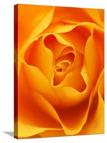 Still Life Photograph, Close-Up of Orange Rose-Abdul Kadir Audah-Stretched Canvas Print