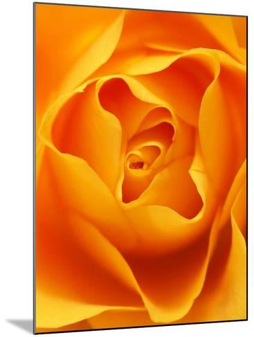 Still Life Photograph, Close-Up of Orange Rose-Abdul Kadir Audah-Mounted Photographic Print