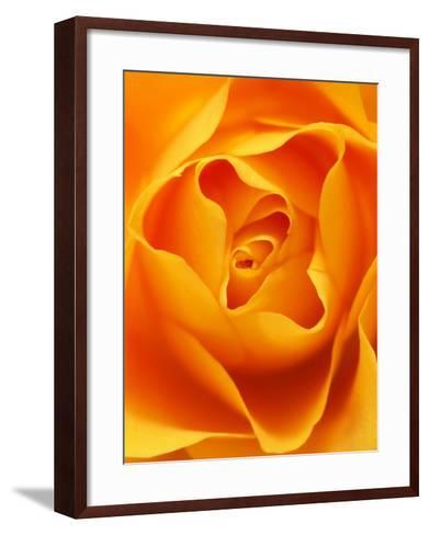 Still Life Photograph, Close-Up of Orange Rose-Abdul Kadir Audah-Framed Art Print