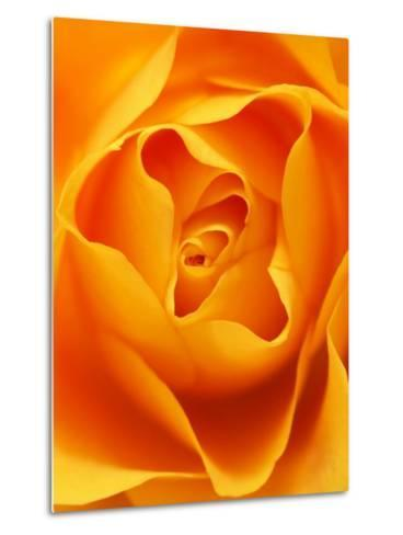 Still Life Photograph, Close-Up of Orange Rose-Abdul Kadir Audah-Metal Print
