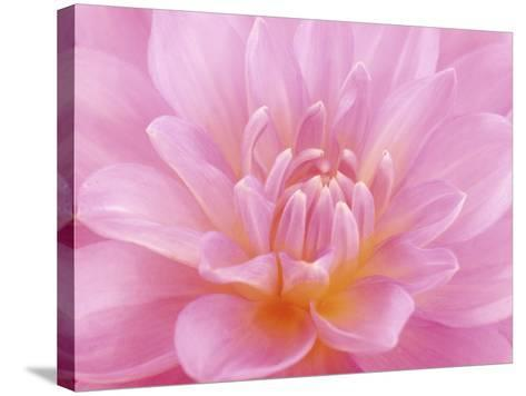 Still Life Photograph, Close-Up of Pink Dahlia-Abdul Kadir Audah-Stretched Canvas Print