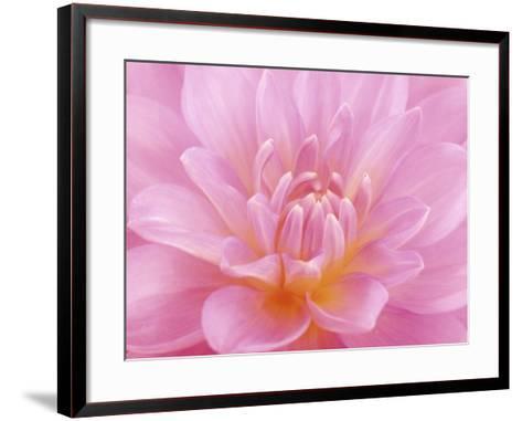 Still Life Photograph, Close-Up of Pink Dahlia-Abdul Kadir Audah-Framed Art Print