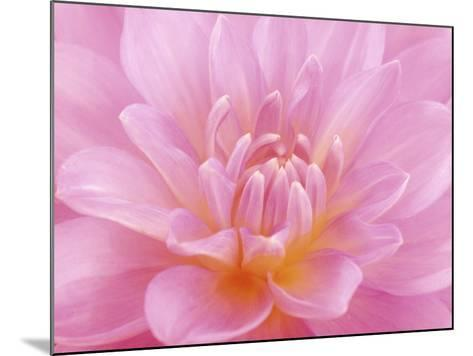 Still Life Photograph, Close-Up of Pink Dahlia-Abdul Kadir Audah-Mounted Photographic Print