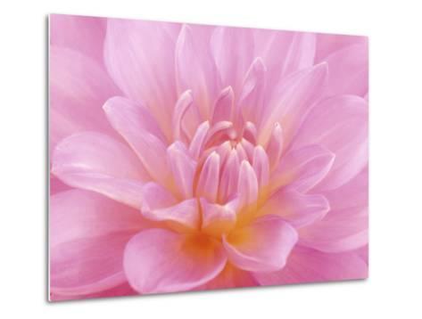 Still Life Photograph, Close-Up of Pink Dahlia-Abdul Kadir Audah-Metal Print