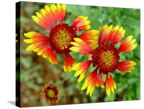 Indian Blanket, Fire Wheel Flower-Emiko Aumann-Stretched Canvas Print