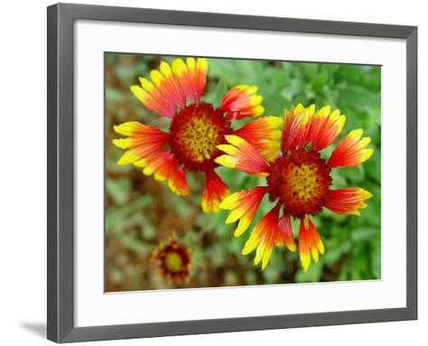 Indian Blanket, Fire Wheel Flower-Emiko Aumann-Framed Art Print