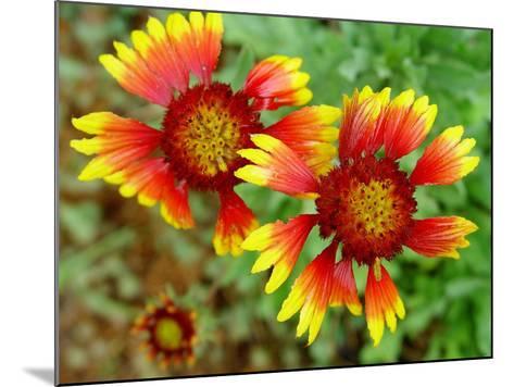 Indian Blanket, Fire Wheel Flower-Emiko Aumann-Mounted Photographic Print