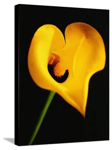 A Yellow Lily with an Arrow as the Stigma-Abdul Kadir Audah-Stretched Canvas Print