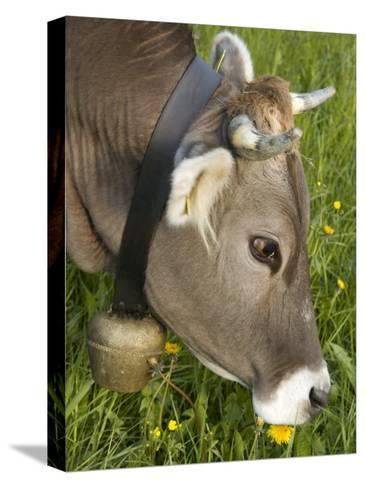 Cow with a Bell Eating Dandelions in a Lush Field-Annie Griffiths Belt-Stretched Canvas Print