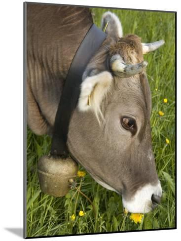 Cow with a Bell Eating Dandelions in a Lush Field-Annie Griffiths Belt-Mounted Photographic Print