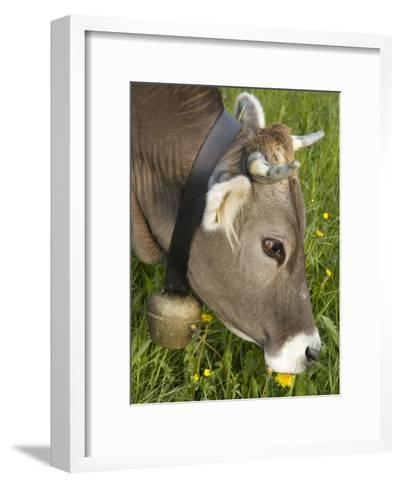 Cow with a Bell Eating Dandelions in a Lush Field-Annie Griffiths Belt-Framed Art Print