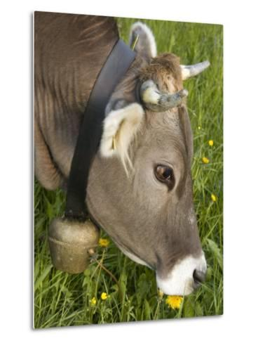 Cow with a Bell Eating Dandelions in a Lush Field-Annie Griffiths Belt-Metal Print