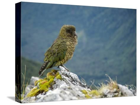 Kea, the Only Alpine Parrot on Mount Fox-Bill Hatcher-Stretched Canvas Print