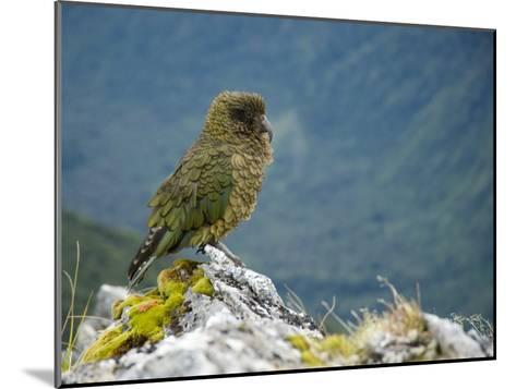 Kea, the Only Alpine Parrot on Mount Fox-Bill Hatcher-Mounted Photographic Print