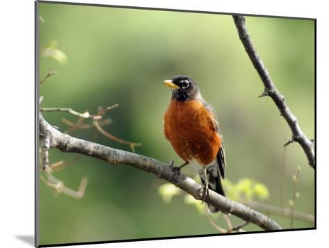 American Robin on a Tree Branch-Darlyne A^ Murawski-Mounted Photographic Print