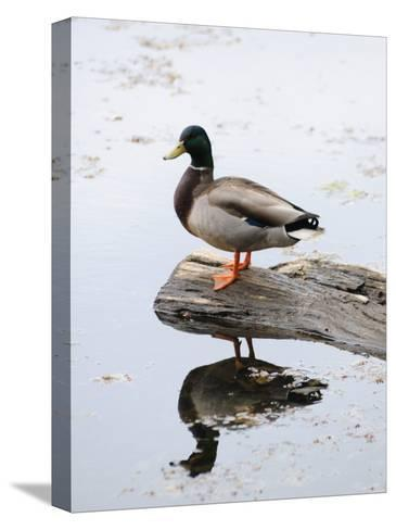 Male Mallard Duck with His Reflection in the Water-Darlyne A^ Murawski-Stretched Canvas Print