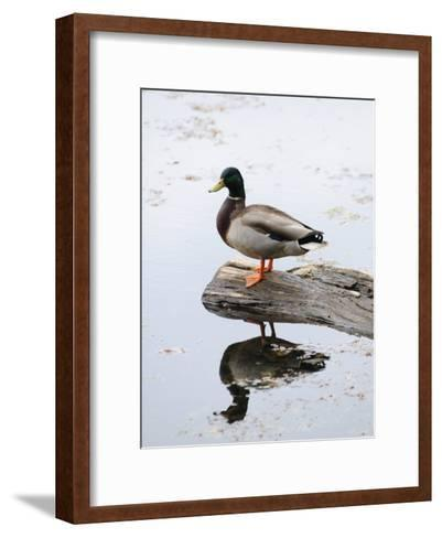 Male Mallard Duck with His Reflection in the Water-Darlyne A^ Murawski-Framed Art Print