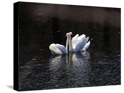 Pair of Mute Swans Courting-Darlyne A^ Murawski-Stretched Canvas Print