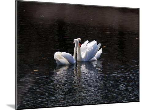 Pair of Mute Swans Courting-Darlyne A^ Murawski-Mounted Photographic Print