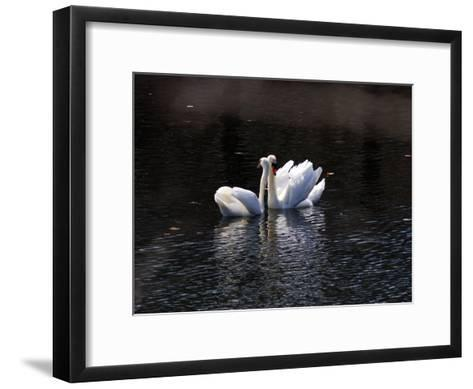 Pair of Mute Swans Courting-Darlyne A^ Murawski-Framed Art Print