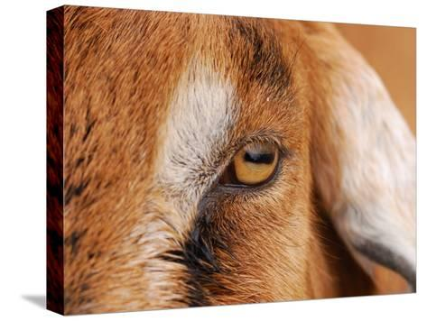 Close-up of a Nubian Goat's Eye-Darlyne A^ Murawski-Stretched Canvas Print