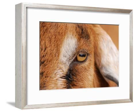 Close-up of a Nubian Goat's Eye-Darlyne A^ Murawski-Framed Art Print