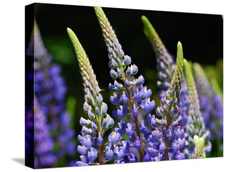Lupine Flowers in the Springtime-Darlyne A^ Murawski-Stretched Canvas Print