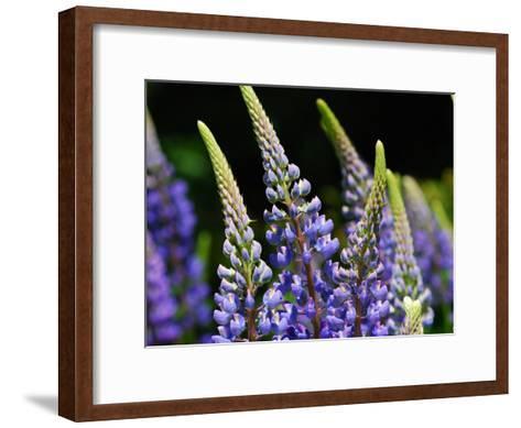 Lupine Flowers in the Springtime-Darlyne A^ Murawski-Framed Art Print