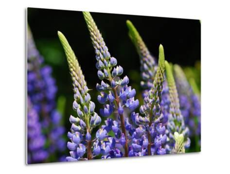 Lupine Flowers in the Springtime-Darlyne A^ Murawski-Metal Print