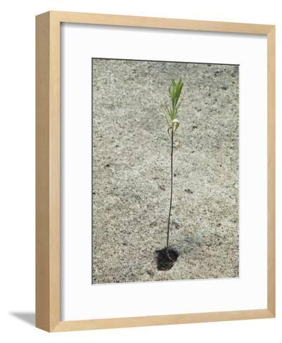 Willow Tree Tries to Grow in the Arid Desert of the Grand Canyon-David Edwards-Framed Art Print