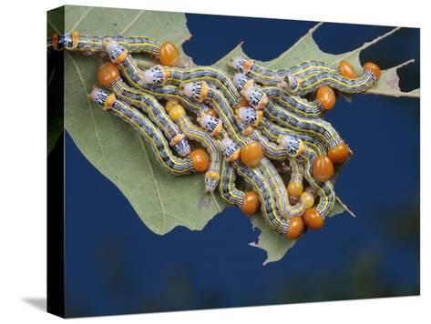 Orange-Humped Oak Worm Caterpillars Feeding on an Oak Tree Leaf-George Grall-Stretched Canvas Print