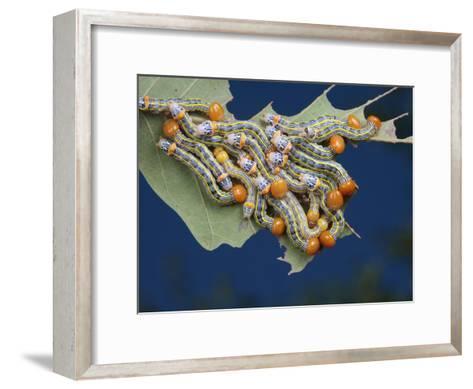 Orange-Humped Oak Worm Caterpillars Feeding on an Oak Tree Leaf-George Grall-Framed Art Print