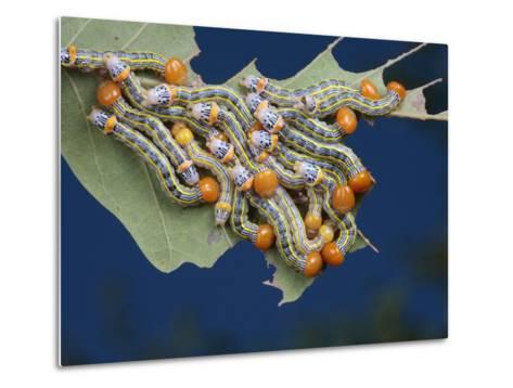 Orange-Humped Oak Worm Caterpillars Feeding on an Oak Tree Leaf-George Grall-Metal Print