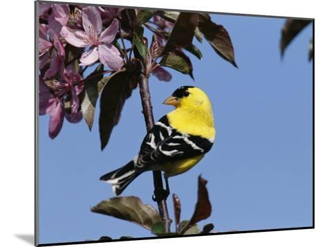American Goldfinch Perched on a Flowering Tree Branch-George Grall-Mounted Photographic Print