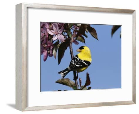 American Goldfinch Perched on a Flowering Tree Branch-George Grall-Framed Art Print