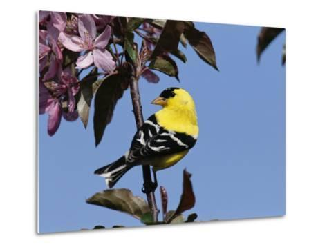 American Goldfinch Perched on a Flowering Tree Branch-George Grall-Metal Print