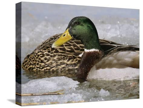 Male Mallard Duck in an Icy Waterway with Female Feeding Nearby-George Grall-Stretched Canvas Print