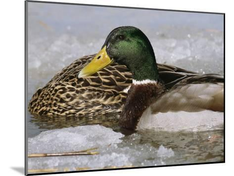Male Mallard Duck in an Icy Waterway with Female Feeding Nearby-George Grall-Mounted Photographic Print