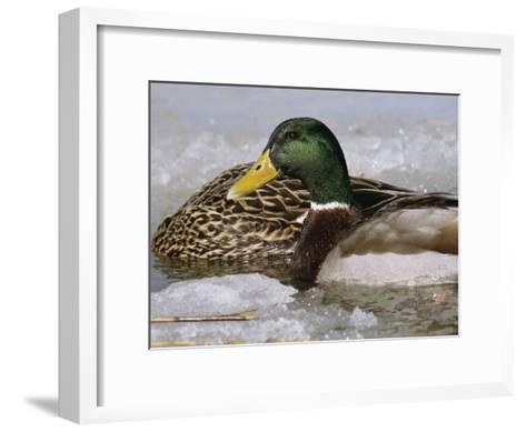 Male Mallard Duck in an Icy Waterway with Female Feeding Nearby-George Grall-Framed Art Print