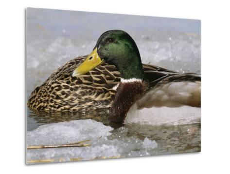 Male Mallard Duck in an Icy Waterway with Female Feeding Nearby-George Grall-Metal Print