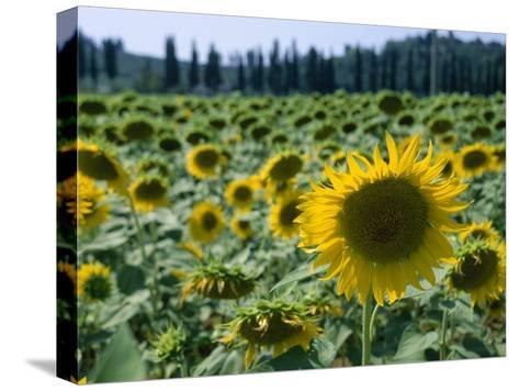 Field of Sunflowers in the Tuscan Countryside-Gina Martin-Stretched Canvas Print