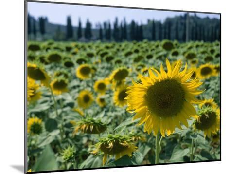 Field of Sunflowers in the Tuscan Countryside-Gina Martin-Mounted Photographic Print