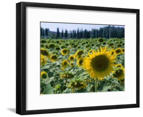 Field of Sunflowers in the Tuscan Countryside-Gina Martin-Framed Art Print
